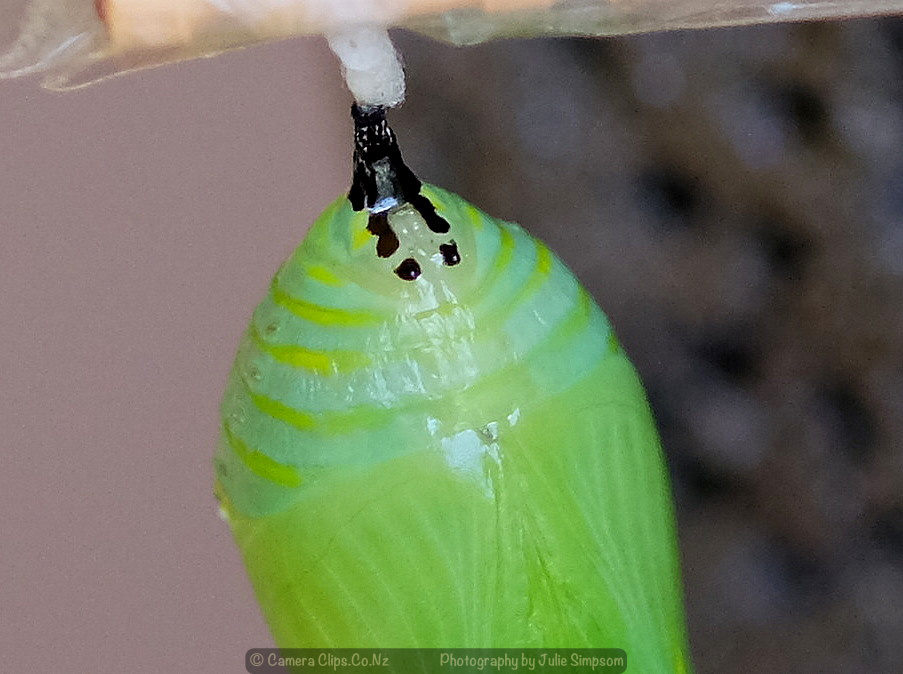 Monarch Chrysalis 2 - is this a female?