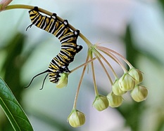 Click on the picture to go to our Monarch Caterpillars page