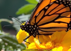 Click on the picture to see our Monarch Butterflies photographs