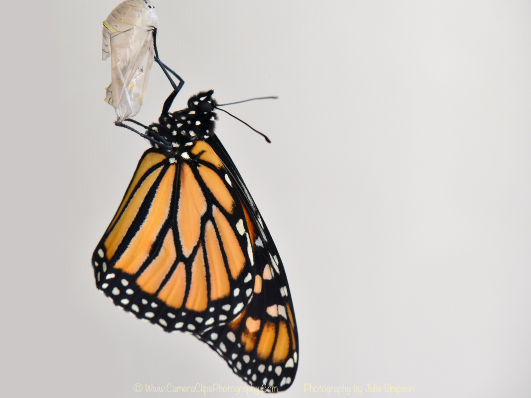 Male Monarch butterfly emerged after 30 days in the chrysalis
