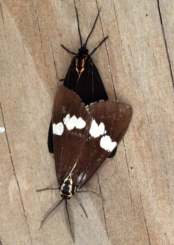 Magpie Moths mating. Male has feathery antenae.